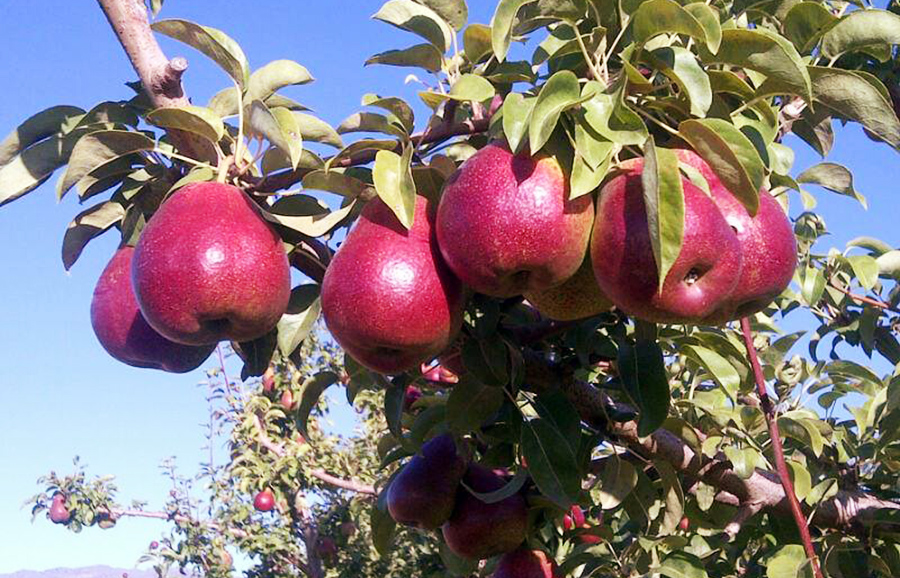 ANFIC Pear - Cape Fire