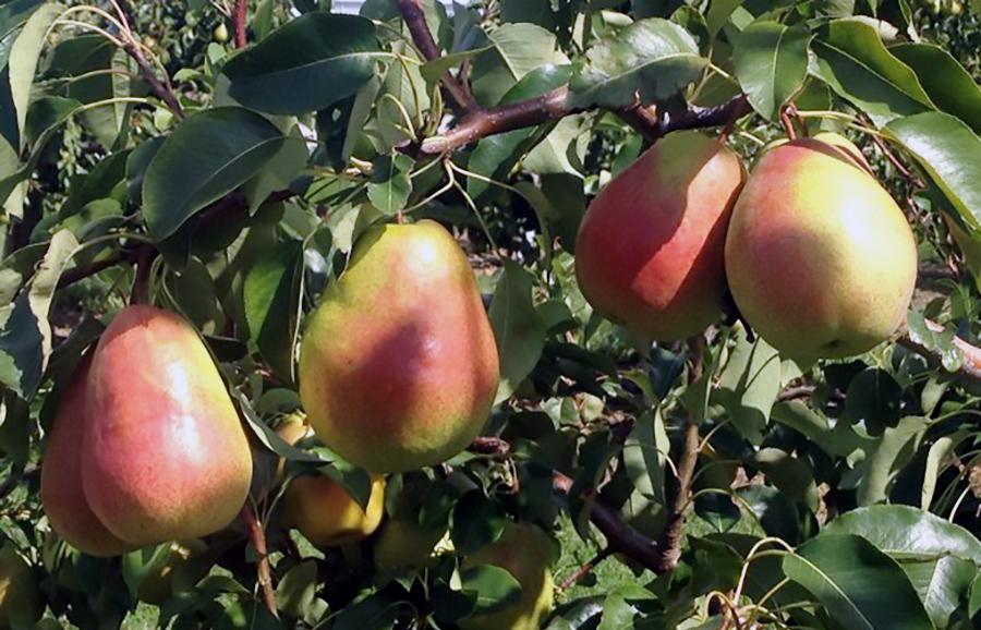 ANFIC-pear-HW624c