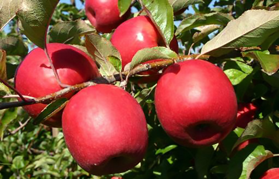 Lady-In-Red-Apple-fruit-tree-variety