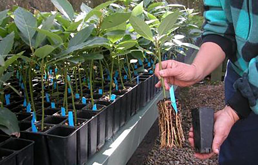 anfic-avocado-rootstocks