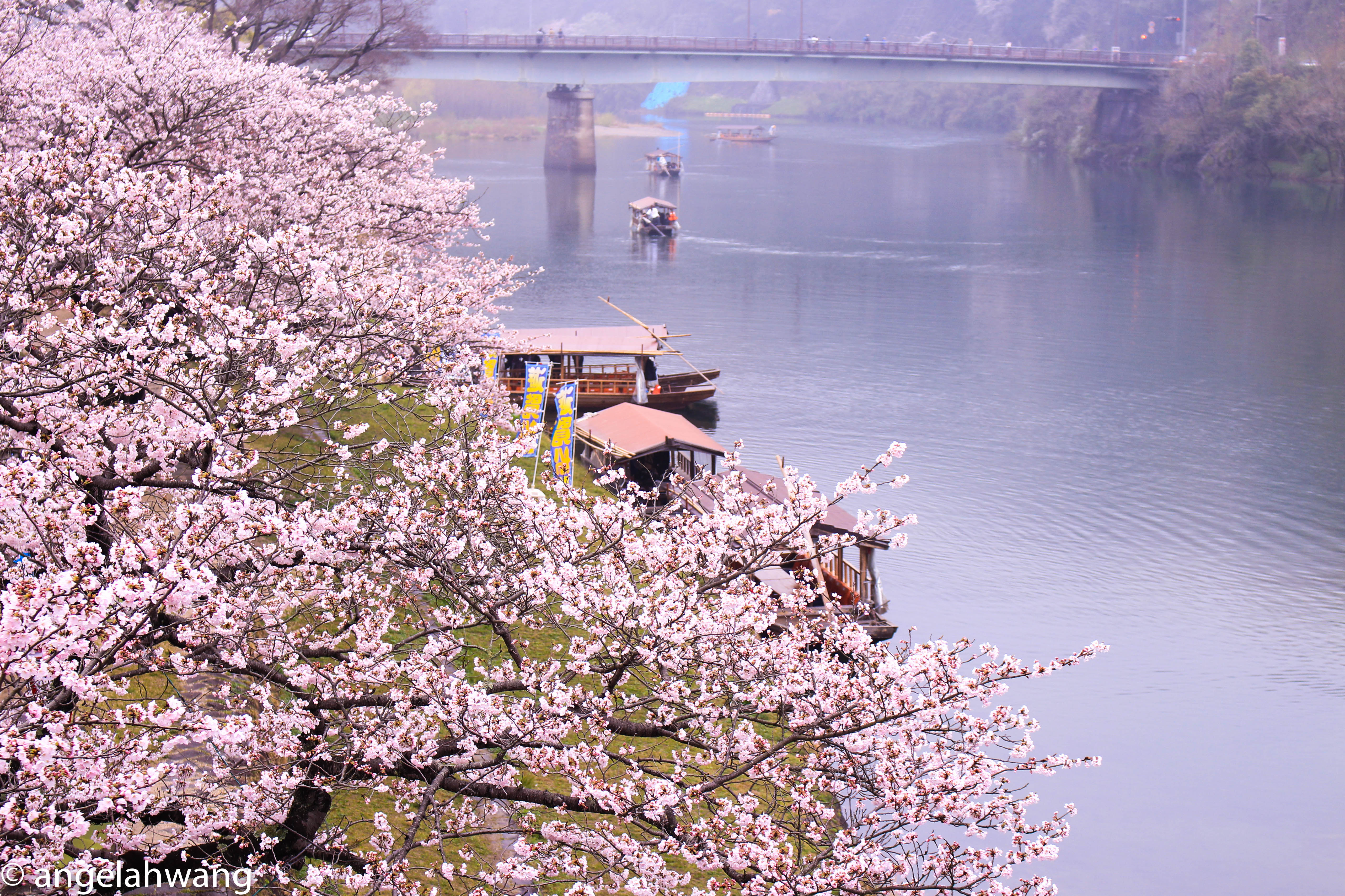 Iwakuni Kintaikyo Cherry Blossoms