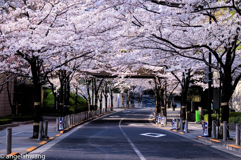 Sakura in Roppongi