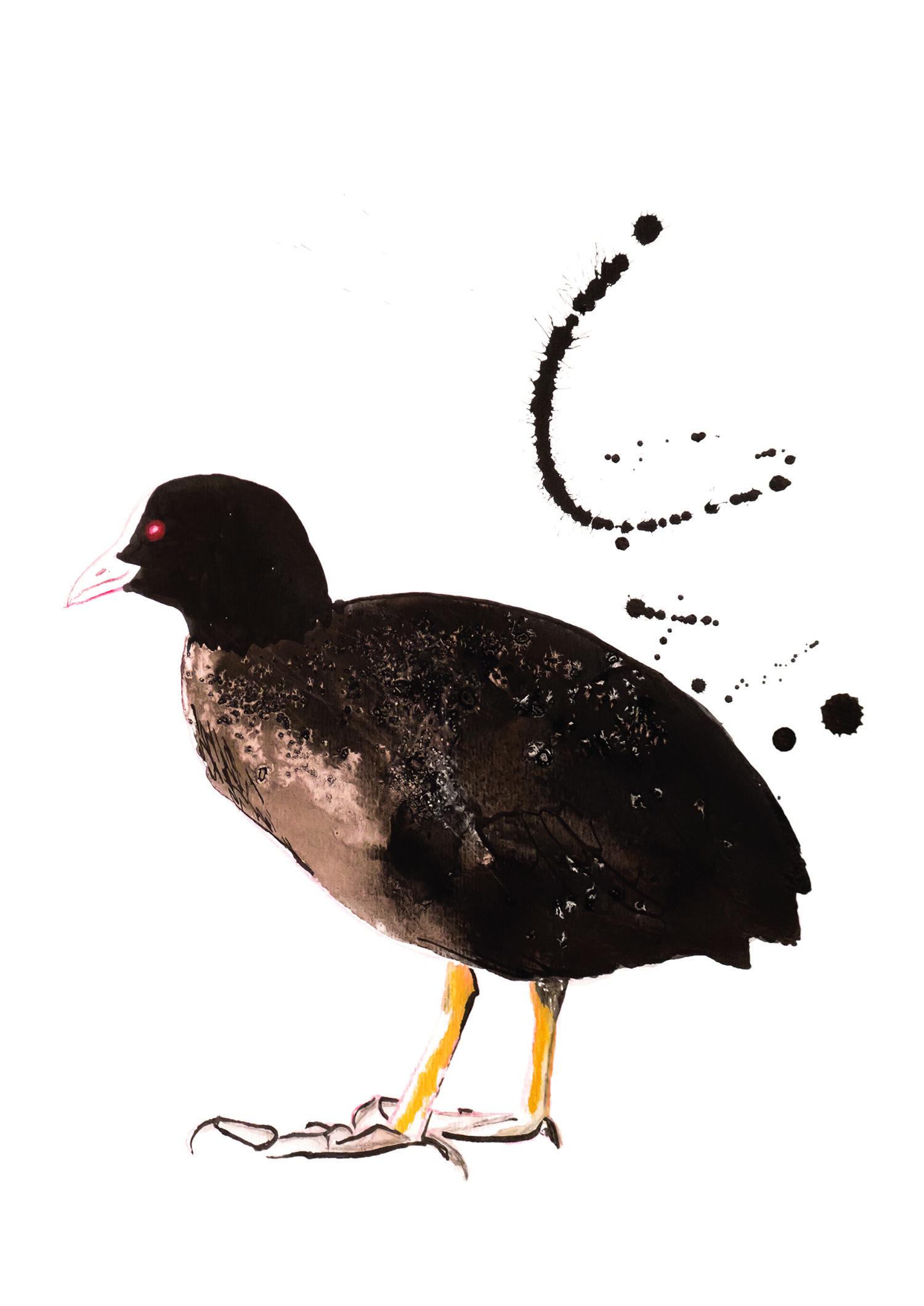 Coot Black Bird, Natuurlijk Angelart, Angela Peters. Illustratie ink aquarel