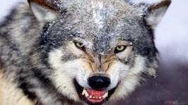 thumb3_wild_wolf_1