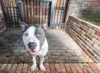 Pit Bull dog in front of steel door