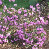 PJM hybrid rhododendrons
