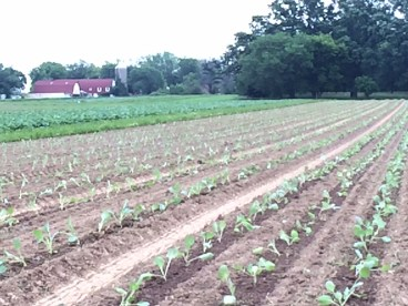Cabbage and cauliflower transplanted last week into a field that wants to be weedy