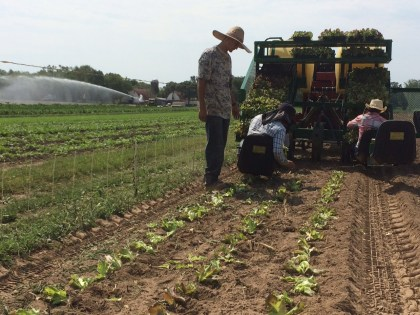 Victor monitors the transplanting of fall lettuce as we irrigate baby greens in the background. An account of everything that happened on the farm on this particular day would fill more than a newsletter column. Remember our tag line: Your Very Own Farm, Without all the Work!