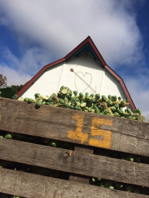 Brussels sprouts are loved by many of our shareholders and by our barn