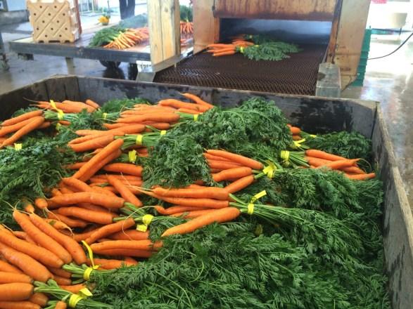 Last carrots until Fall
