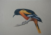 """Baltimore Oriole"" 9x12 Coloured Pencil on Paper"