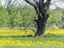tree surrounded by mustard