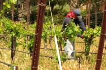 tending vines