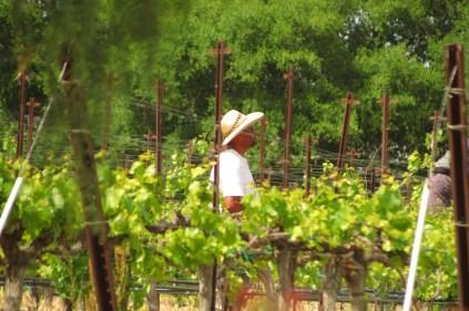 vineyard worker