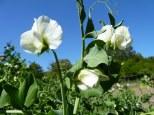 flor del guisante en escalante