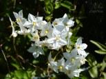 flores blancas en escalante