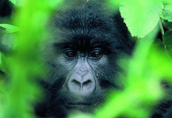 5-Days-Gorilla-Safari-Uganda-and-Rwanda
