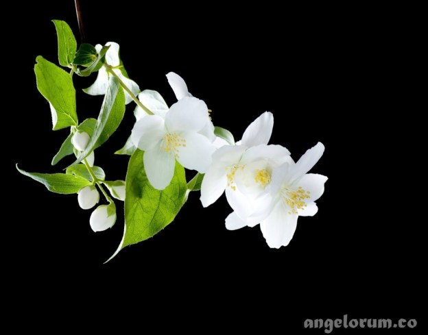 jasmine flowers magical properties