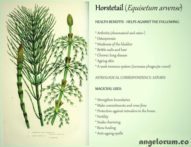 7 Health Benefits And 7 Magickal Uses For Horsetail Angelorum