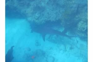 PK snorkeling shark