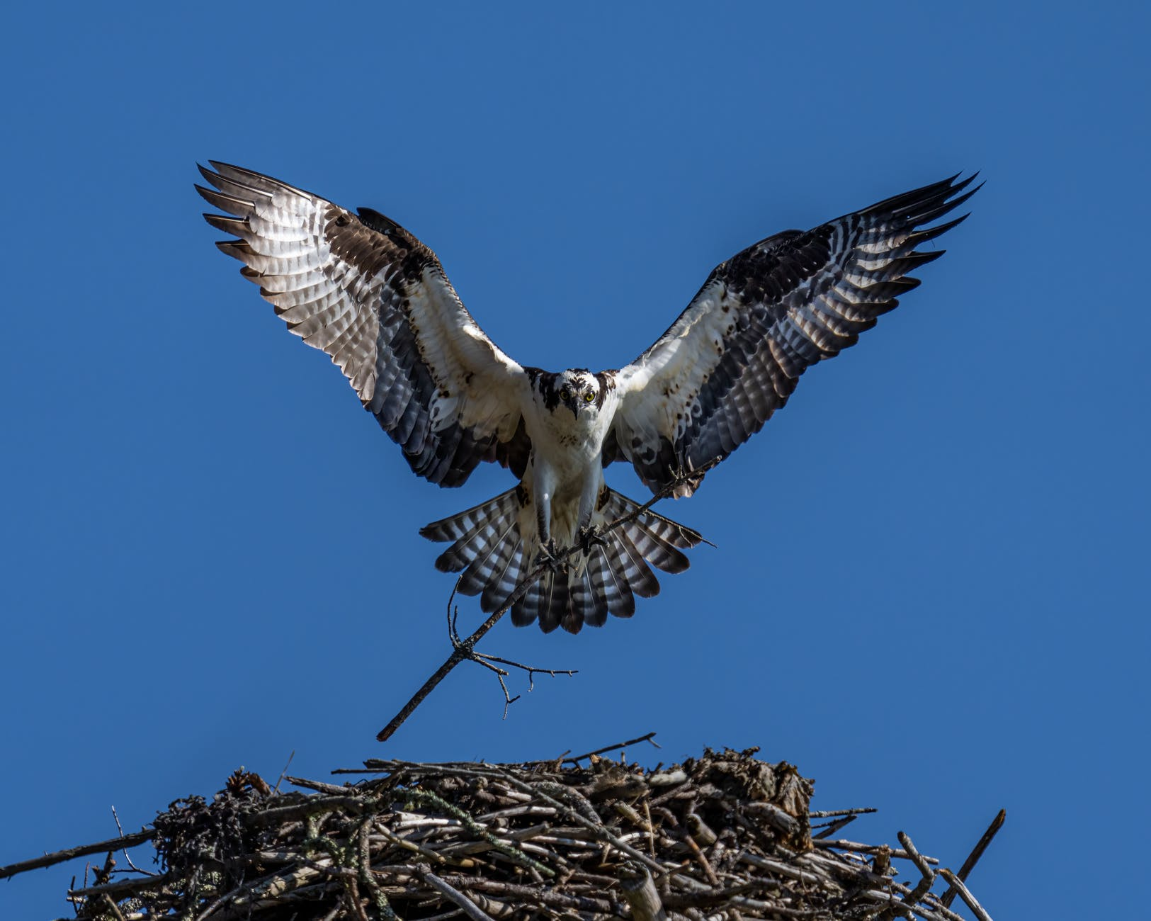 osprey with twig flying in cloudless sky over nest