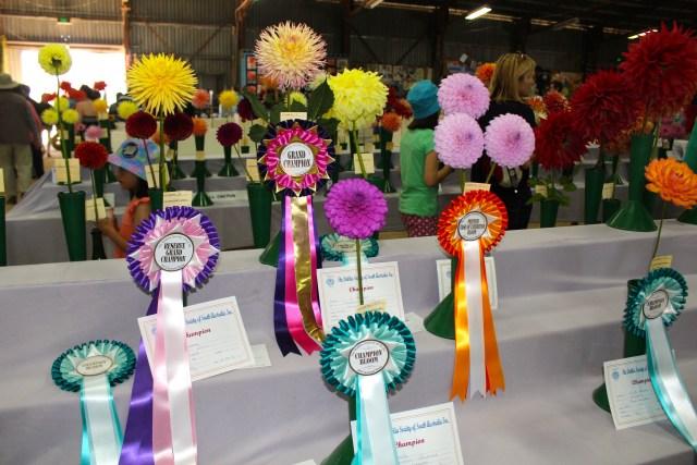 Beautiful prize winning Dahlias -