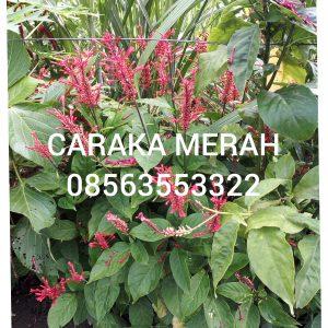 manfaat tanaman caraka merah untuk mengobati pendarahan, semua hal yang berhubungan pendarahan dapat diobati dengan daun caraka merah