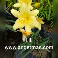 Jual tanaman hias bunga lili