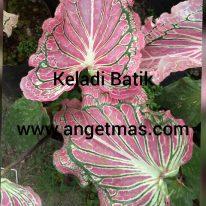 Tanaman bunga keladi batik