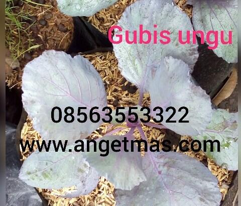Sayuran gubis ungu