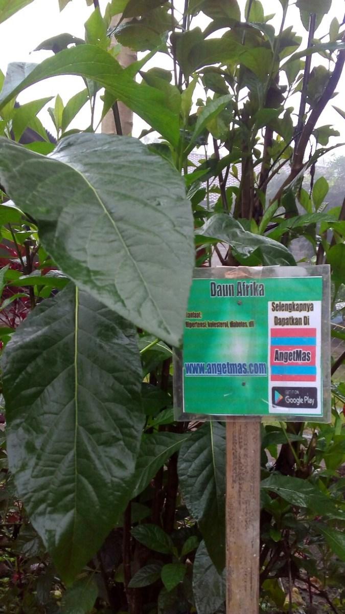Bibit tanaman daun Afrika