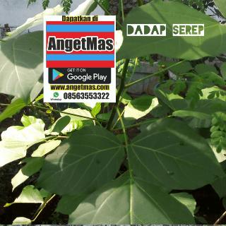 Bibit tanaman dadap serep