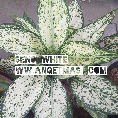 Bibit tanaman snow white