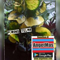 Tanaman bunga puring telor