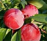 Tanaman buah pul merah