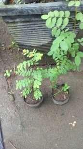 tanaman tampal besi