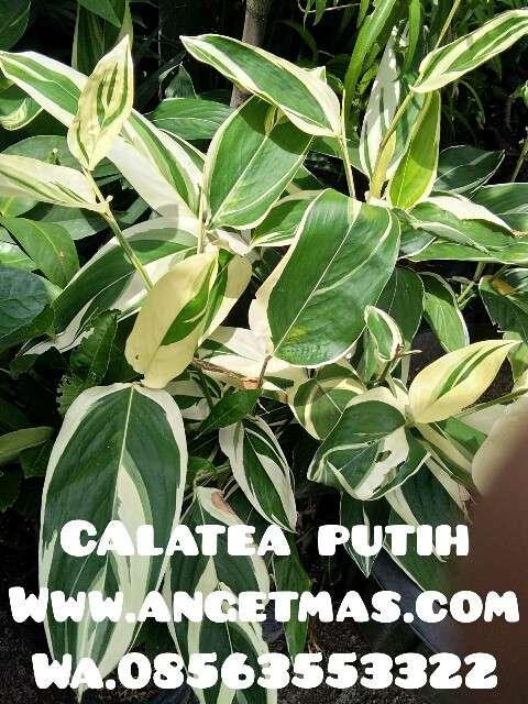 bibit bunga calathea putih