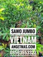 Tanaman sawo jumbo vietnam, jual tanaman sawo jumbo viaetnam