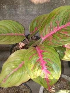 jual tanaman aglaonema hippapa