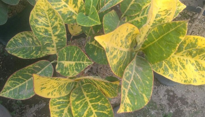 Bibit tanaman puring manila