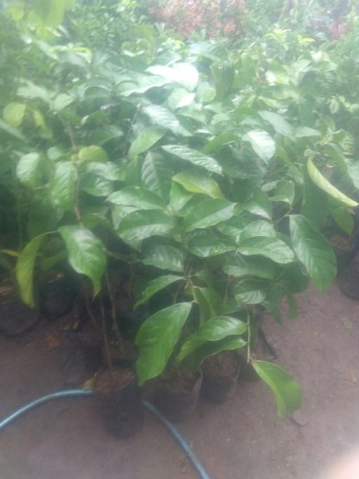 Bibit tanaman buah duku dukong