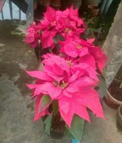 Bibit tanaman bunga kastuba