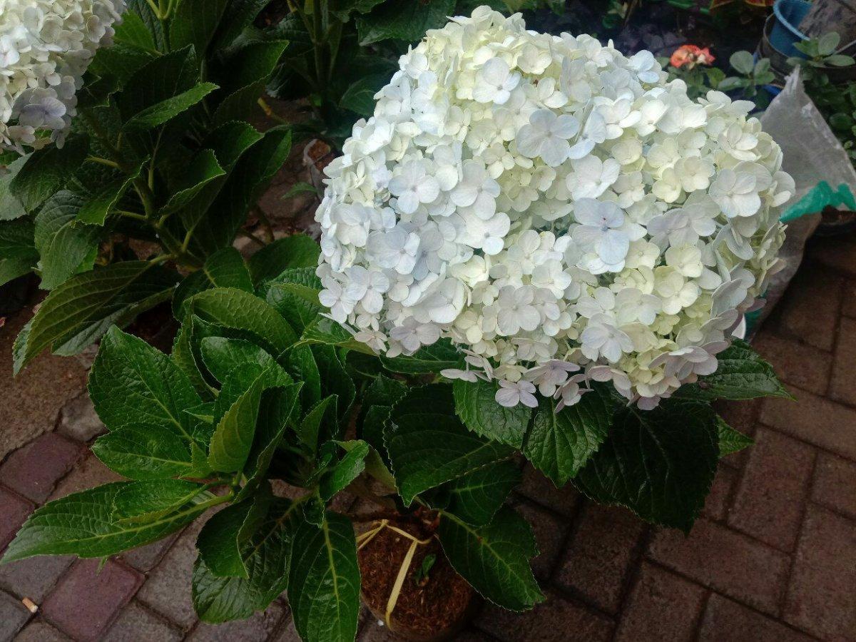 Jual bibit tanaman bunga Panca warna