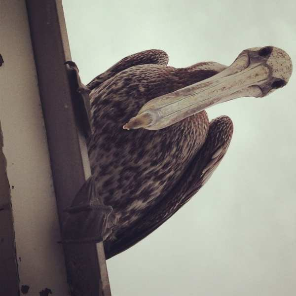 A stern visitor to Cheeca Lodge on Islamorada