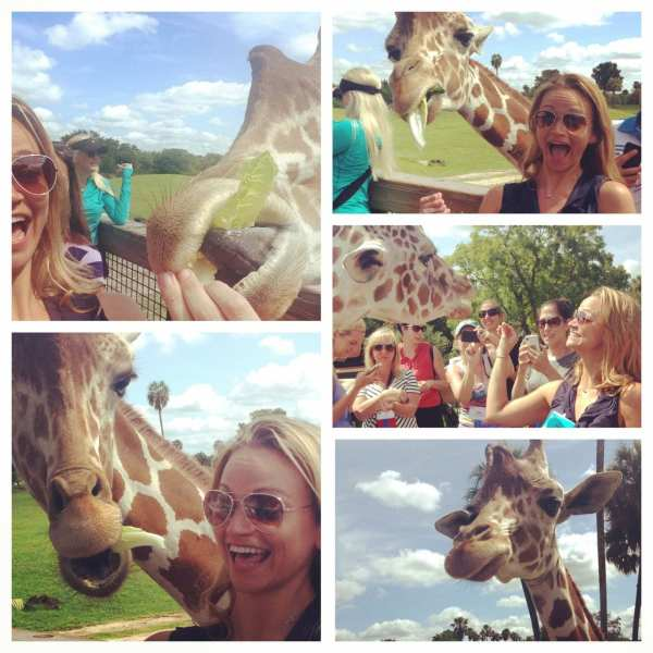 Meeting Ruby the Giraffe at Busch Gardens during the PRSA Travel Conference