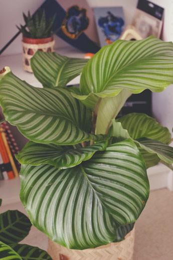 Ma plante préférée : mon calathea orbifolia