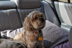 Roxy on the Trip Home - Exhausted (1)