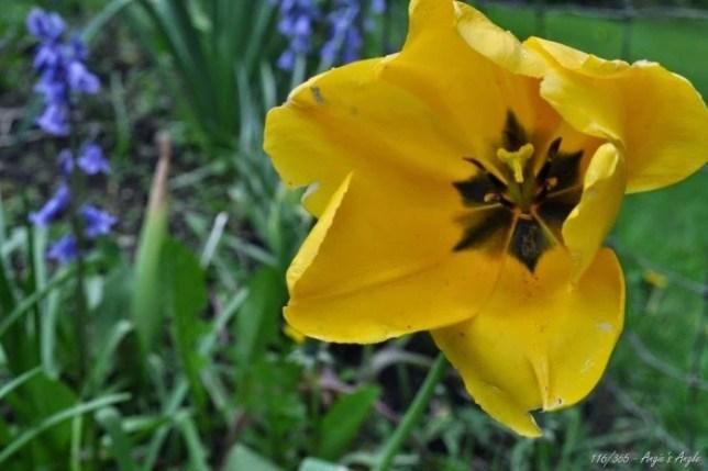 Day 116 - Yellow Tulip