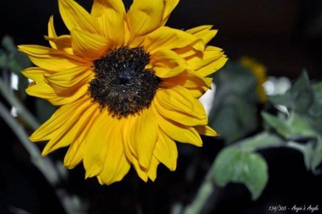 Day 134 - Sunflower