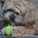 Wordless Wednesday - Roxy Batting the Ball (4)